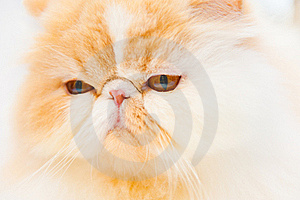 Pedigree Cat Royalty Free Stock Images - Image: 18983779