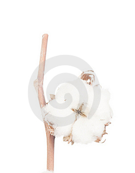 Cotton Flowers. Royalty Free Stock Image - Image: 18988016