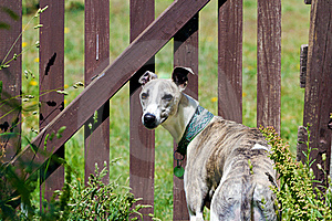 Dog At Fence Royalty Free Stock Images - Image: 18988409