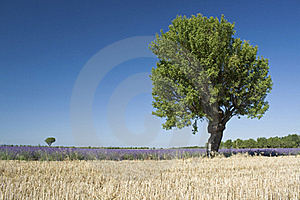 Landscape With Lavender From. Provence Stock Images - Image: 18988614