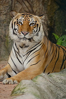 Tiger Stock Photography - Image: 18989662