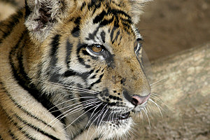 Tiger Cub Free Stock Photo