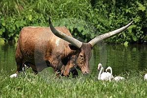 Ankoli Cattle Free Stock Images