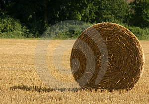 Harvested Wheat Free Stock Image