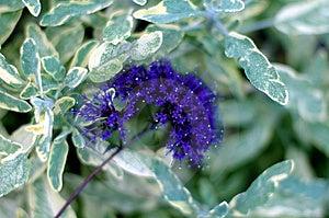 Purple Star Flower Free Stock Image