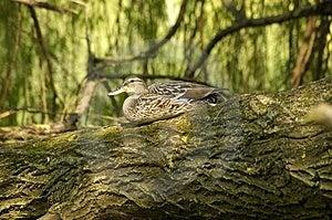 Duck Free Stock Photos