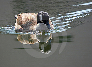 Canadian Goose And Its Reflection Stock Images