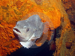 Lumpfish On The Plm 27 Free Stock Photos