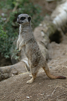 Meerkat Free Stock Photos