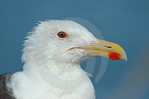 Red-eyed gull Royalty Free Stock Photo