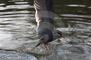 Inca Tern Free Stock Image