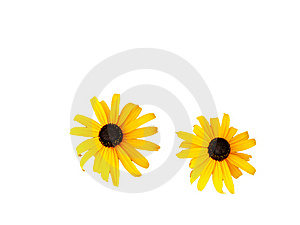 Two Orange Daisies, Isolated On White Immagine Stock