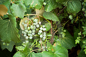Green Grapes Free Stock Photography