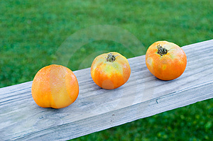Tomato Trio Stock Images