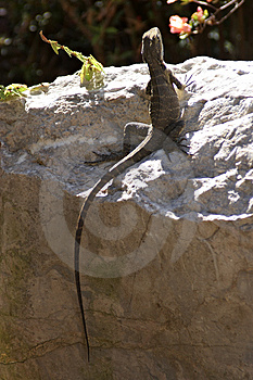 Lizard on a Rock Stock Images