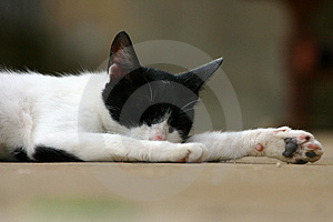Gato do sono Fotos de Stock Royalty Free