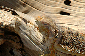 Lizard Free Stock Photo