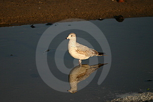 Seagull With Reflection Free Stock Images