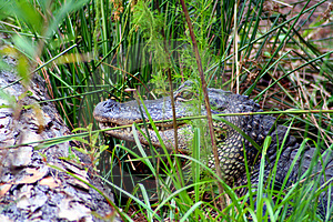 Hiding Gator Stock Photography