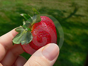 Hand Holding Juicy Strawberry Outdoors Free Stock Photography