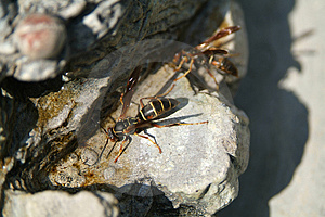Wasp2 (lat. Vespa) Stock Photography
