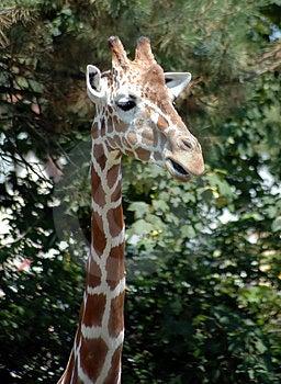 Girafa 3 Foto de Stock Royalty Free