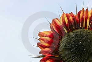 Red Sunflower Free Stock Photography