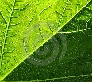 Leaf Of Cymbling Free Stock Photo