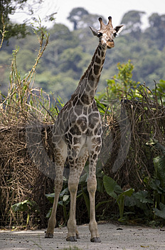 Baby Giraffe Free Stock Photos