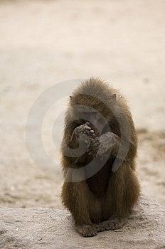Hamadryas Baboon 1 Stock Images