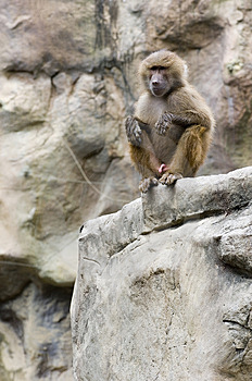 A Wet Baboon Free Stock Photo
