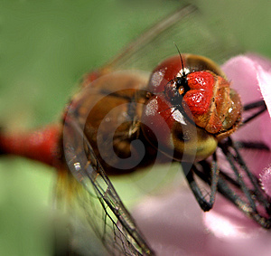Dragon fly ...(5) Stock Image
