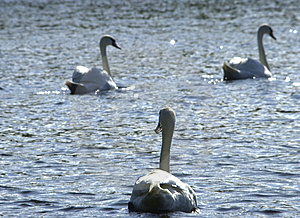 Beautiful swans Royalty Free Stock Images