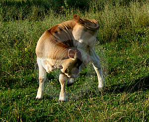 Cow...(2) Stock Image