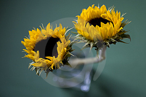 Sunflowers In Vase Free Stock Images