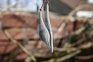Blue Rain Seeds Free Stock Photo
