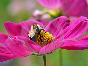 Bumble bee feeding at a flower Stock Image