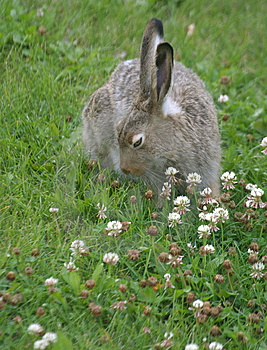 Coniglio in trifoglio Fotografia Stock Libera da Diritti
