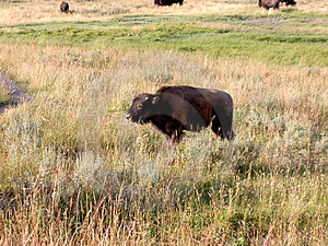Babybizon (Buffels) in Yellowstone Stock Afbeelding