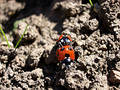 Ladybirds Mating 4