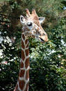 Giraffe 3 Free Stock Photo