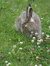 Rabbit in clover Free Stock Photo