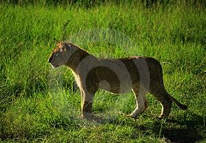 Lion Cub Royalty Free Stock Photos - Image: 1900128