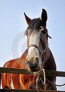 Close Up Of A Bay Stallion Stock Image - Image: 19014421