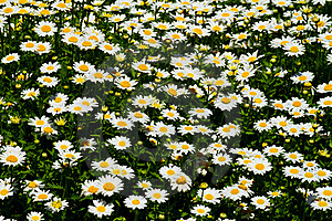 Daisy Royalty Free Stock Photos - Image: 19025018
