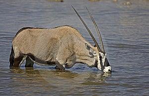 Gemsbok Standing In Waterhole Stock Photography - Image: 19030662