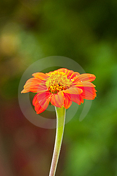Zinnia Flower On Green Background Stock Photo - Image: 19031360