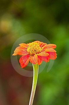 Zinnia Flower On Green Background Stock Photo - Image: 19031360
