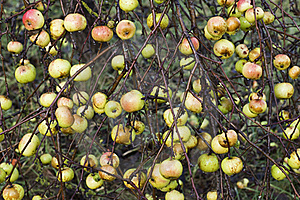 Apples Stock Photography - Image: 19032462