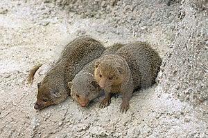 Dwarf Mongooses Stock Image - Image: 19034971